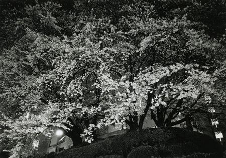 Yozakuras